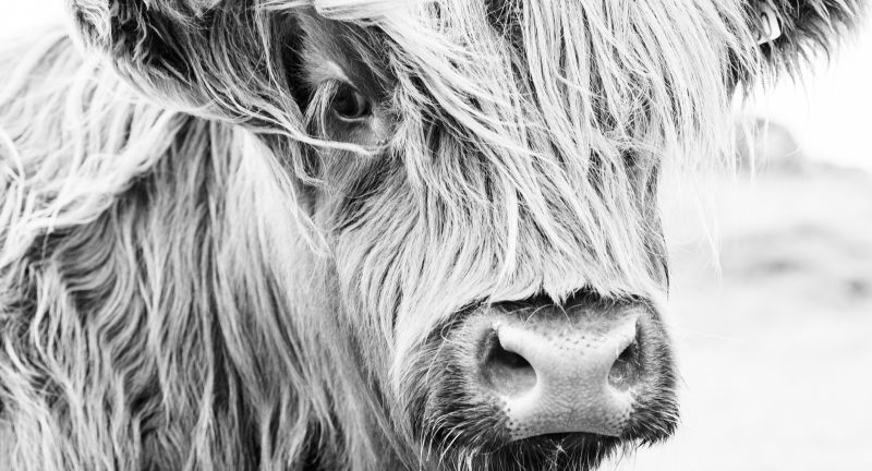 cow, highland, scottish, cattle, scotland, animal, hair, horns, hairy, highlands, red, farm, mammal, long, landscape, face, bull, farming, field, countryside, meadow, agriculture, brown, wildlife, nature, cow, highland, scottish, cattle, scotland, animal, hair, horns, hairy, highlands, red, farm, mammal, long, landscape, face, bull, farming, field, countryside, meadow, agriculture, brown, wildlife, nature